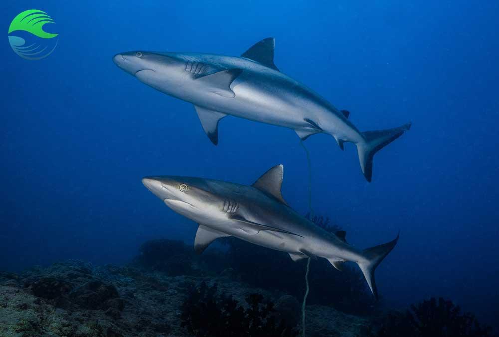 Plongée à Vilanculos pour voir les requins gris