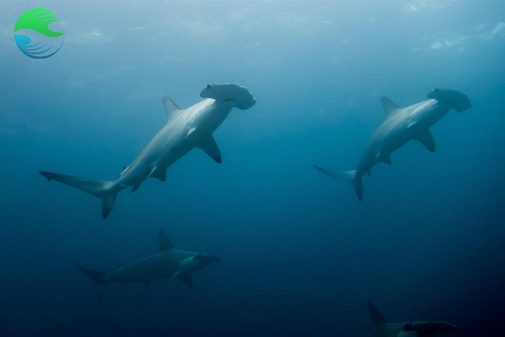 Un voyage plongee ecoresponsble : explorez et evoluez avec les requins marteaux du costa rica