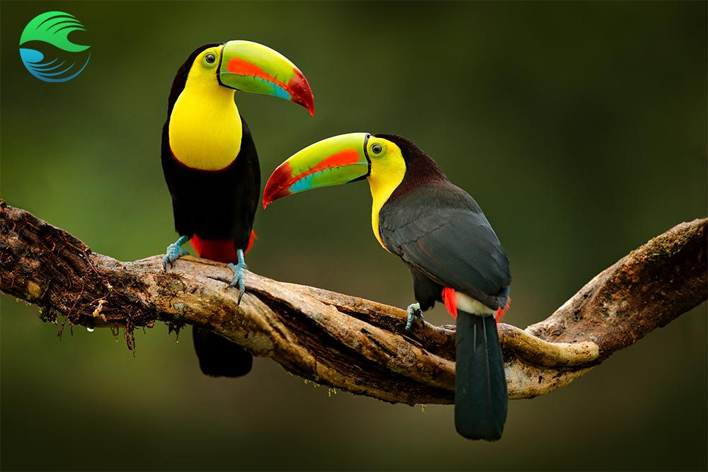 Toucans du Costa Rica : une destination écoreponsable