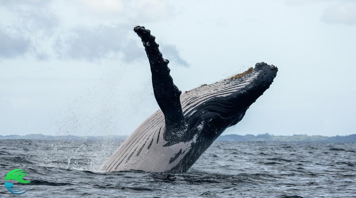 Saut de baleine à bosse - nager avec les baleines