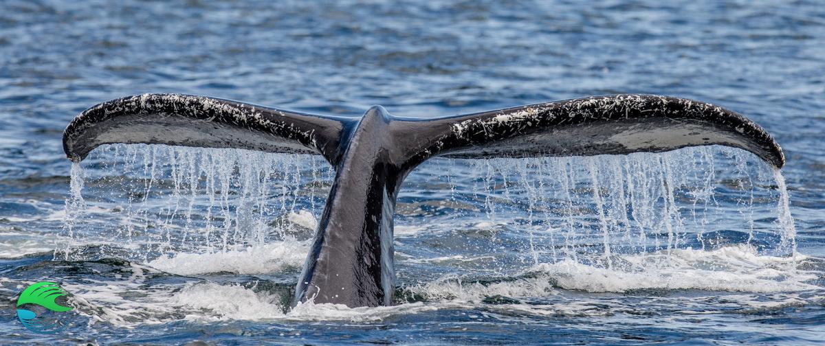 Nager avec les baleines - queue de baleine à bosse