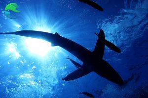 plonger aux acores voir baleines bleues