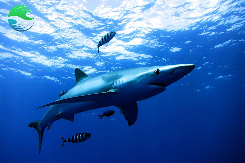 croisiere plongee aux acores requin peau bleu